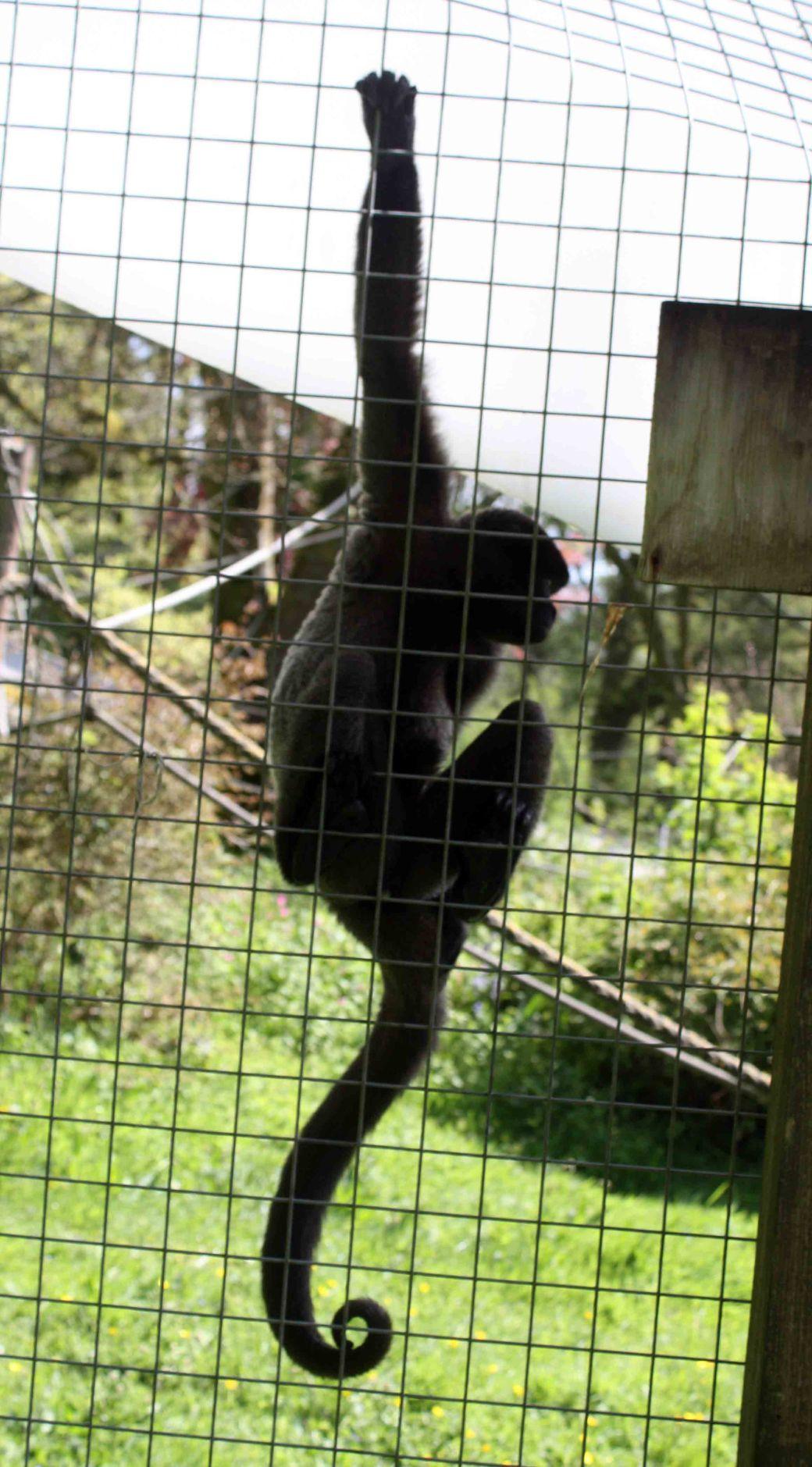 Wooly monkey Lagothrix lagotricha 2